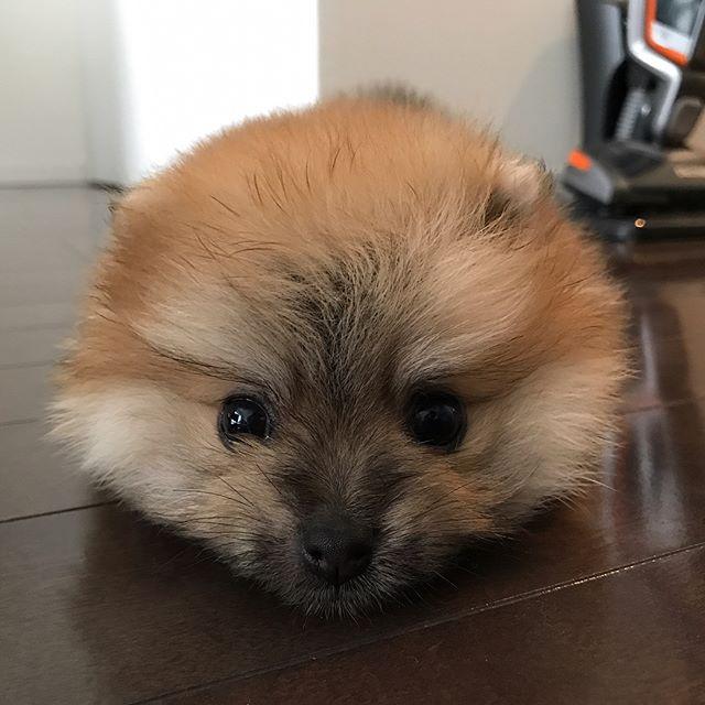 妖精さんでもタヌキさんでもありません笑ポメラニアンの赤ちゃんのももちゃんです遊び疲れて、最後は変な格好で寝ちゃいました元気にすくすく育ってくれますように!#Tokyoペットシッター#ペットシッター#tokyopetsitter#ポメラニアン#pomeranian#dogs #いぬ