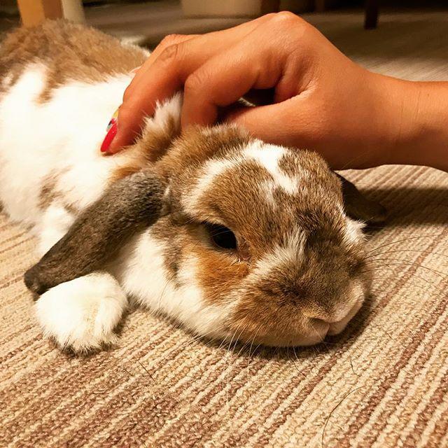 パグばかりをかまっていたら、ウサギがヤキモチを妬いて暴れ出したので、緊急ナデナデ接待#tokyoペットシッター #ペットシッター#rabbit #うさぎ#ホーランドロップイヤー