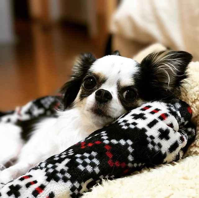 えへへ️ナデナデの順番待ちだよ〜#tokyoペットシッター #ペットシッター#dogs #chihuahua #チワワ#いぬ