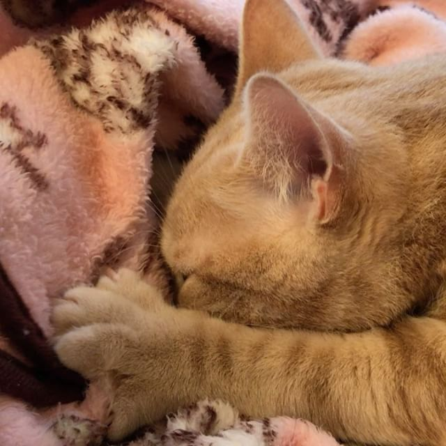 「モミモミ」と「ちゅっちゅ」に夢中の茶々ちゃんエンドレスで見ていたい️#Tokyoペットシッター #ペットシッター#americanshorthair #cat #ねこ部 #もみもみ#アメリカンショートヘア