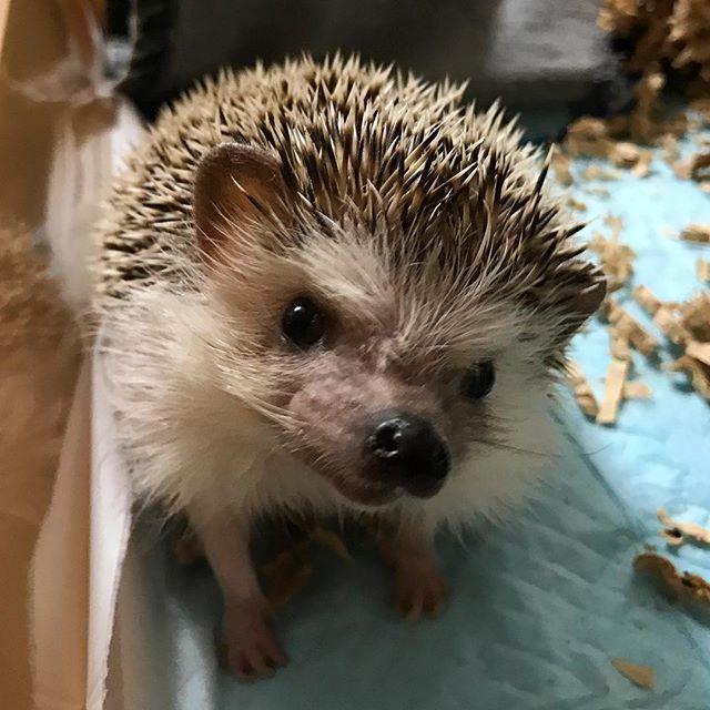 最近、シュシュちゃんがやっと私に慣れ始めてくれ、見せてくれる表情が可愛すぎてたまらん。#Tokyoペットシッター #ペットシッター#ハリネズミ#hedgehog