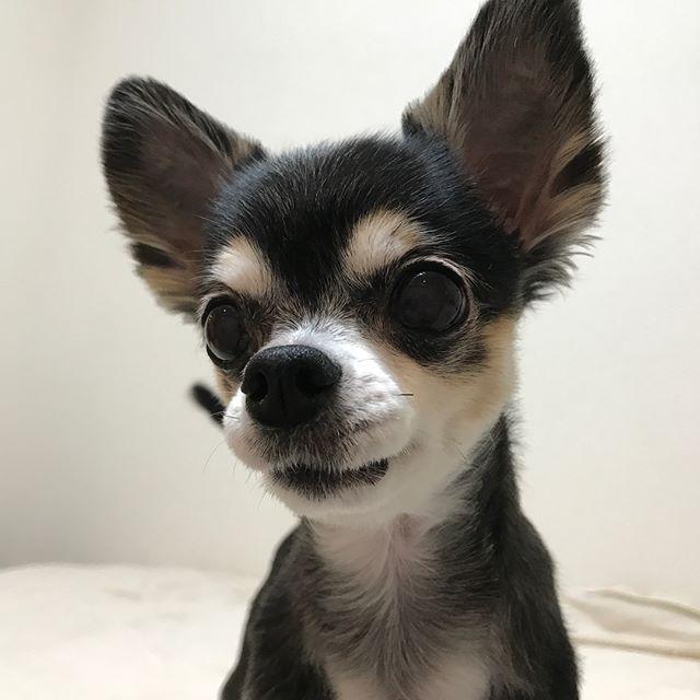 たくさん遊んで満足したさくらちゃんそして私も大満足#Tokyoペットシッター #ペットシッター#chihuahua #dogs #チワワ