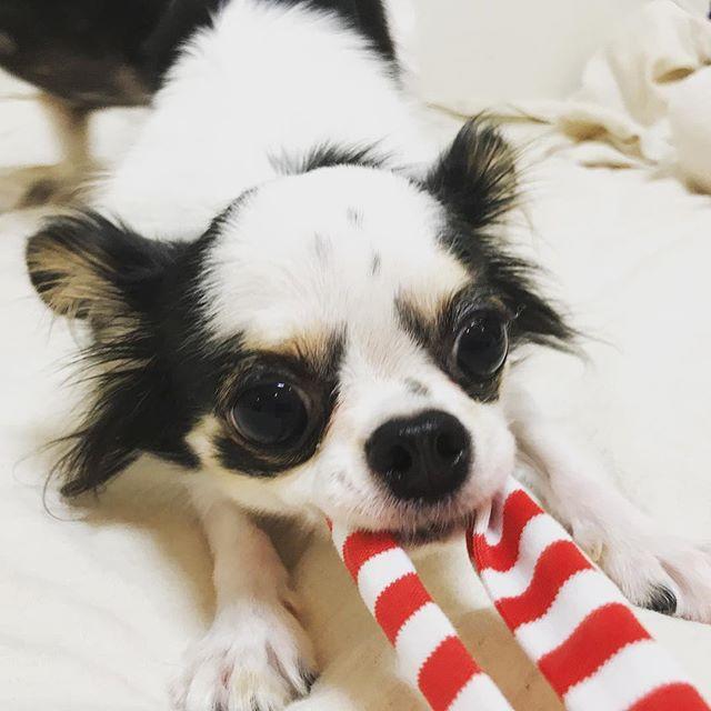 「むむむ〜!負けませんよ〜!」の、よつばちゃん#Tokyoペットシッター #ペットシッター#chihuahua #チワワ#dogs