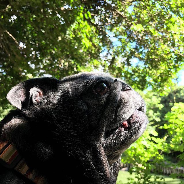 青空が気持ち良かったので、東大散歩。♀️#Tokyoペットシッター #ペットシッター#pug#blackpug #dogs