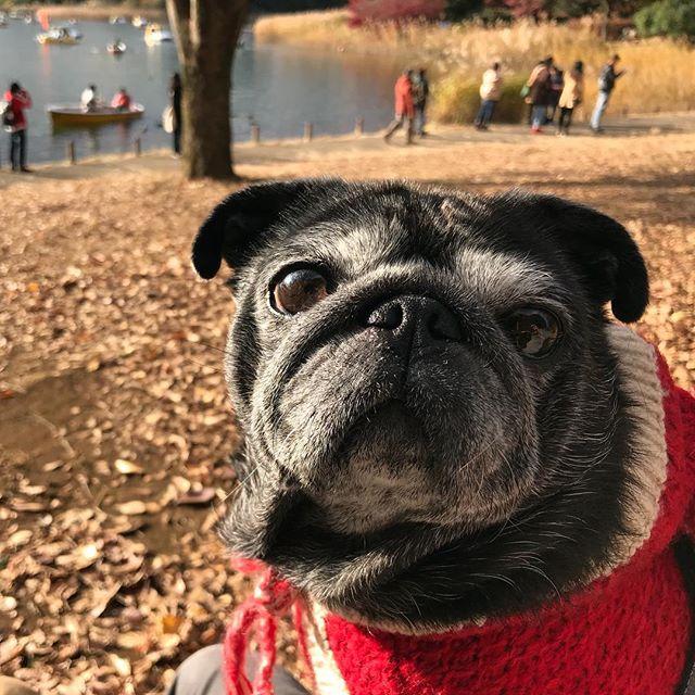 「公園、混みすぎやねん。」#イチョウの見頃は過ぎていた#園内6km以上歩いて頑張った10歳パグ#帰り道の渋滞半端ない #pug#blackpug#パグ#黒パグ