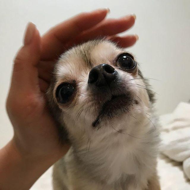 「撫でられるのがお仕事です」の、すみれちゃん。#Tokyoペットシッター #ペットシッター#chihuahua #チワワ#dogs