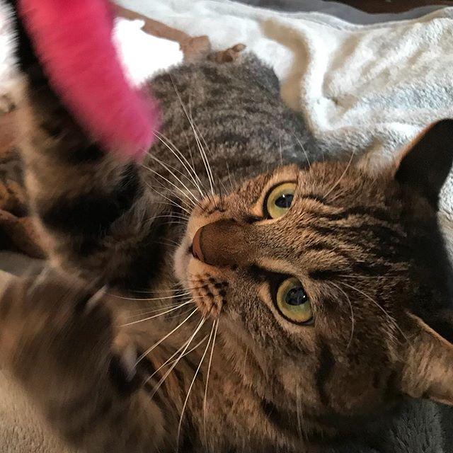 何事にも一生懸命な壮助ちゃんが大好きです。#Tokyoペットシッター #ペットシッター #cat#ねこ
