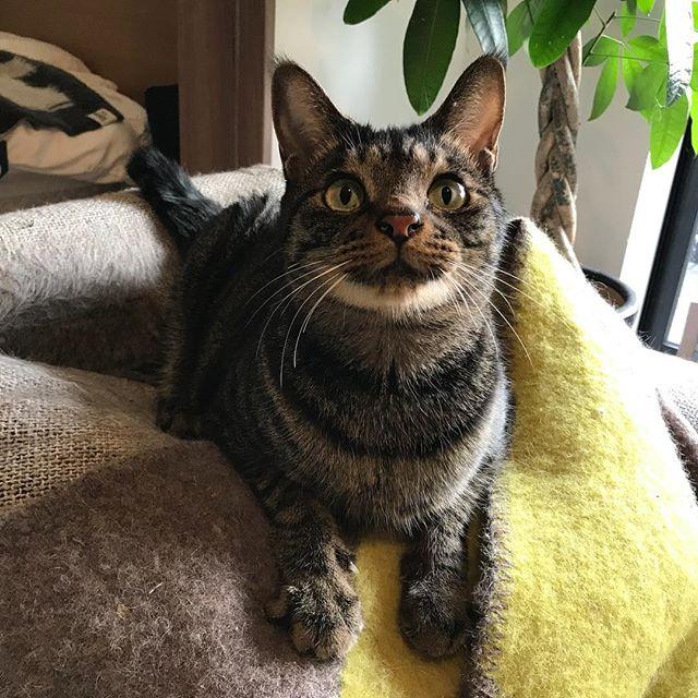 「ふふん」って感じ。りんちゃん、何だか嬉しそう #Tokyoペットシッター #ペットシッター#ねこ#cat