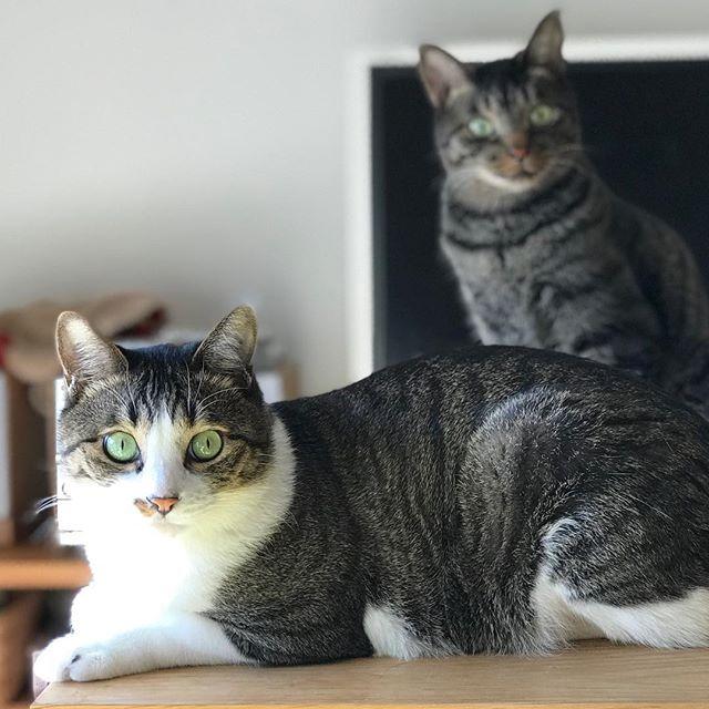 瞳孔が小さい時もカワイイ。こたちゃん&りんちゃん#Tokyoペットシッター #ペットシッター#ねこ#cat