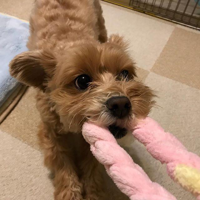 遊び始めると、小さな猛獣になるミティちゃん#Tokyoペットシッター #ペットシッター#まるぷー #maltese #poodle #dogs