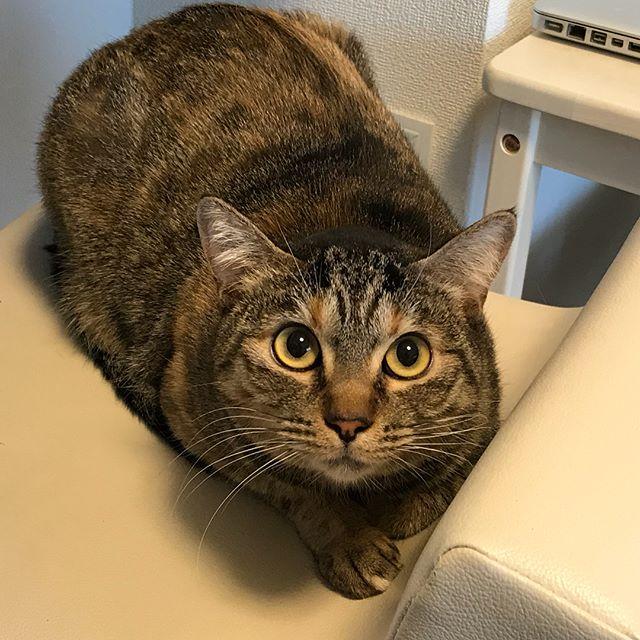 「何見てんのよっ」のキーラちゃんいつかナデナデさせてね#Tokyoペットシッター #ペットシッター#cat#ねこ