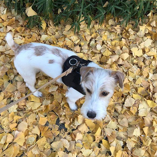 黄色いね〜。ハリちゃんとお散歩・#Tokyoペットシッター #ペットシッター#dogs#jackrussellterrier #ジャックラッセルテリア #犬