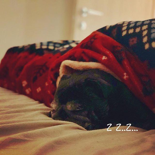 惰眠を貪るパグ。#tokyoペットシッター#pug#blackpug#dogs#パグ#黒パグ