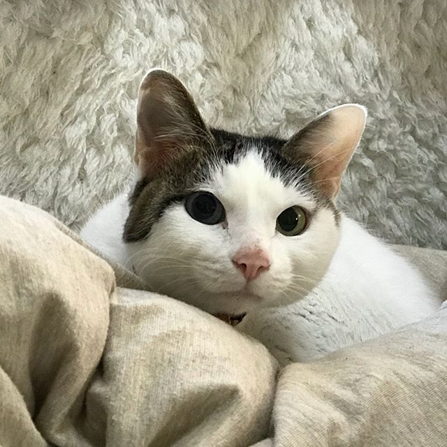 ちょっぴりツンデレなジジちゃん️初日はナデナデ拒否だったけど、2日目はスリスリゴロゴロでした#tokyoペットシッター #cat#ねこ #ペットシッター