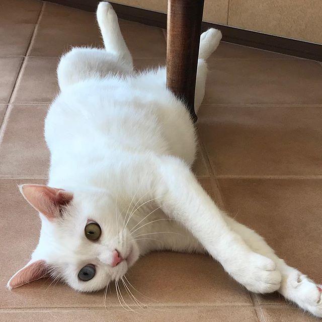 ポカポカ陽気で、思わずゴロンのステラお嬢様#tokyoペットシッター #ペットシッター#cat#ネコ