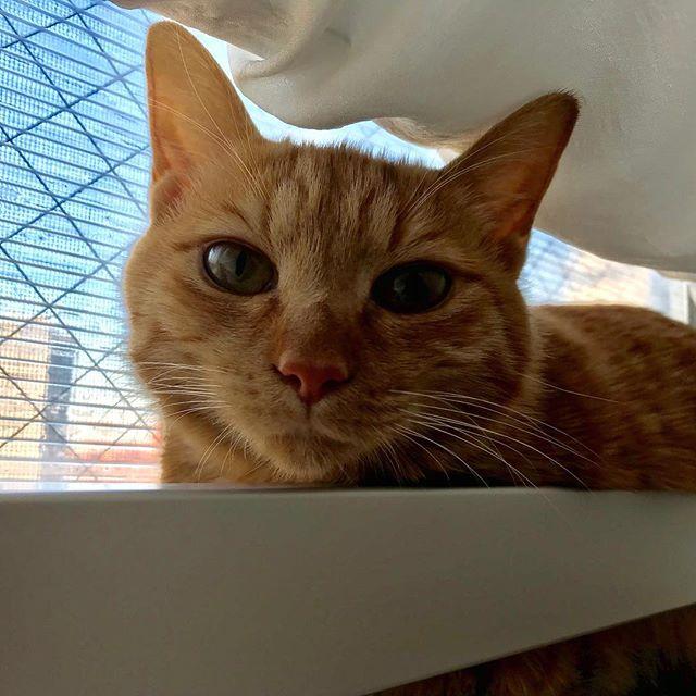 本当はもっと可愛いのに、カメラを向けるとこんな顔しかしない、うにちゃん。#tokyopetsitter#petsitter#cat#ねこ
