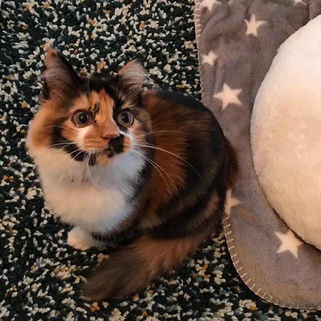 ちびっこミミちゃん、初めてのお留守番でした🤗ミミちゃんママも私もドキドキでしたが、よく遊びよく食べ、お利口さんに頑張ってくれました#tokyopetsitter #petsitter #cat#catstagram #ねこ