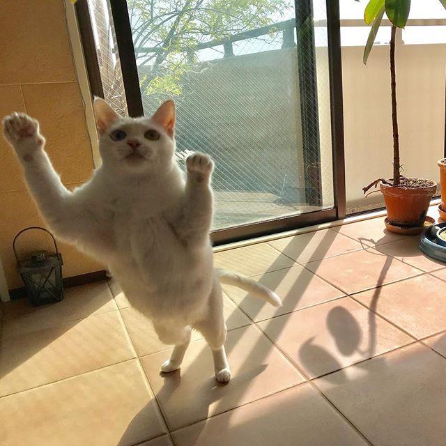 離陸1秒前のステラちゃん🛫#tokyopetsitter#petsitter#cat#catstagram #ねこ #ねこすたぐらむ