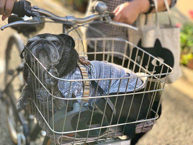 プーよ、ポカポカ陽気で眠いのは分かる。でもせめて座れ。溶けるな。#tokyopetsitter #petsitter#pug#blackpug#パグ#黒パグ#ぱぐすたぐらむ