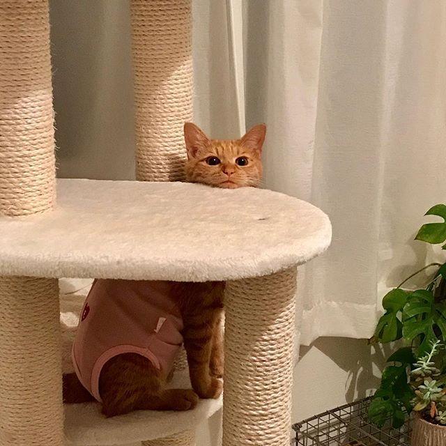 あご乗せ。#tokyopetsitter #cat #catstagram #ねこ #ねこすたぐらむ #ちゃとら