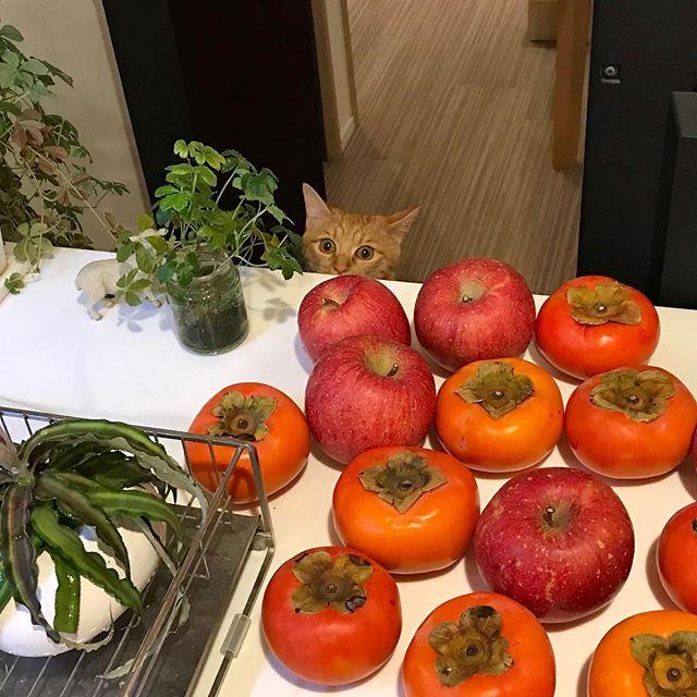 5月生まれのうに、りんごも柿も見るの初めて。怖くてカウンターに飛び乗れず、凹む。#tokyopetsitter #cat#catstagram #ねこ #ねこすたぐらむ