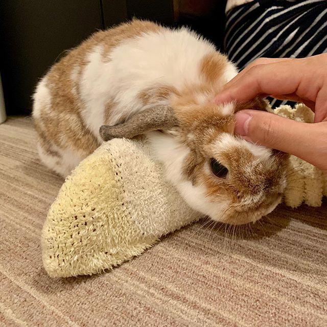 うにに負けじと、甘えるデイジー。#tokyopetsitter #rabbit #うさぎ #ホーランドロップ