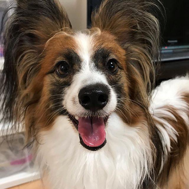 初めまして!のホクちゃん人が大好きで、笑顔がキラキラのハンサムボーイでしたお散歩もルンルン♪で楽しかったね!#tokyopetsitter #petsitter #papillon #dog  #パピヨン
