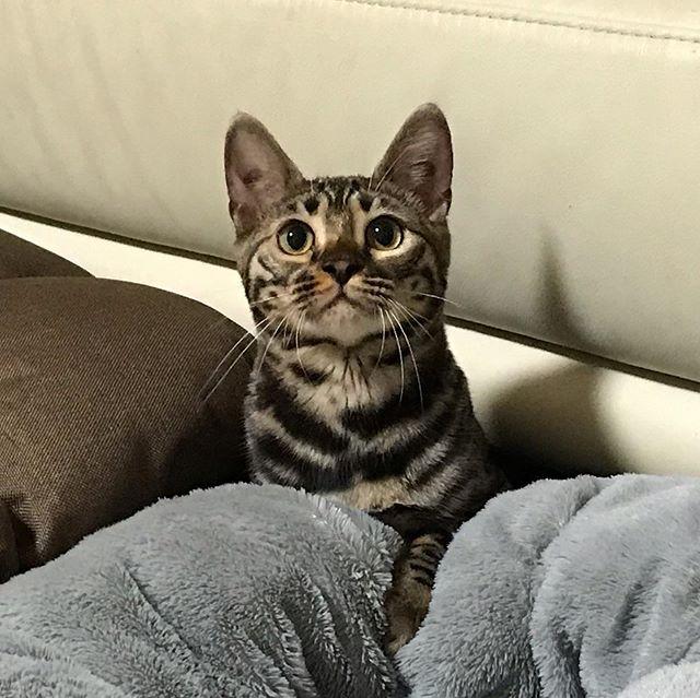 お芋ちゃんと仲良しベンガルの「うりちゃん」打ち合わせ時は少しも出て来てくれませんでしたが、お留守番の時は楽しそうにおもちゃで遊び、仲良くしてくれました!まだ生後10ヶ月なので、これからが楽しみです!#tokyopetsitter #petsitter #bengalcat #ベンガル猫 #cat #犬と猫 #ねこ