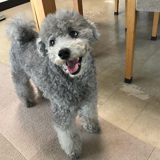 トイプーのお芋ちゃん初めてお家でお留守番です。ホテルよりもリラックスして過ごせたと思います️笑顔がとっても可愛くて優しい子でした!同居のベンガルちゃんと仲良しで、楽しそうにじゃれ合う姿に癒されました〜🥰 #tokyopetsitter #petsitter #toypoodle #dog #トイプードル