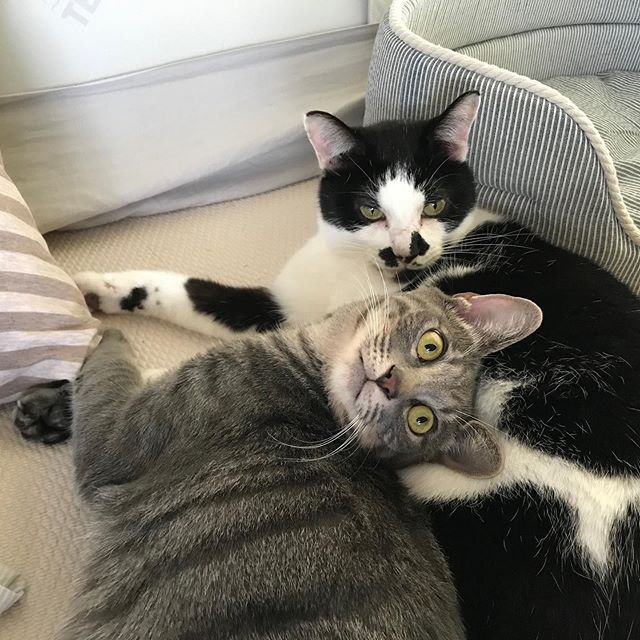 仲良しの「きいちちゃん」と「さんさんちゃん」シッターが入り込む余地はなし🤣#tokyopetsitter #petsitter #cat #ねこ #仲良しすぎる猫 #腹枕 #私もしてみたい
