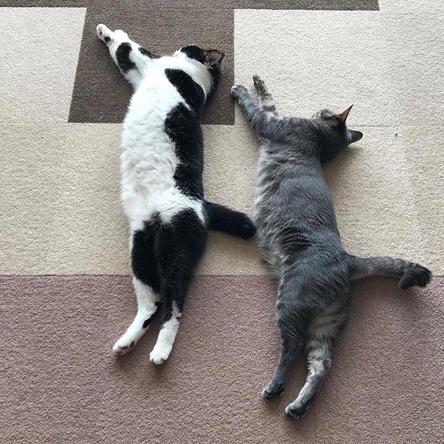 今日も仲良しっぷりを見せつけられていますきいちちゃんと、さんさんちゃん奇跡のシンクロ寝!#tokyopetsitter #petsitter #cat #ねこ #シンクロ寝 #シンクロねこ #仲間に入りたいけど #私は大きすぎるわ