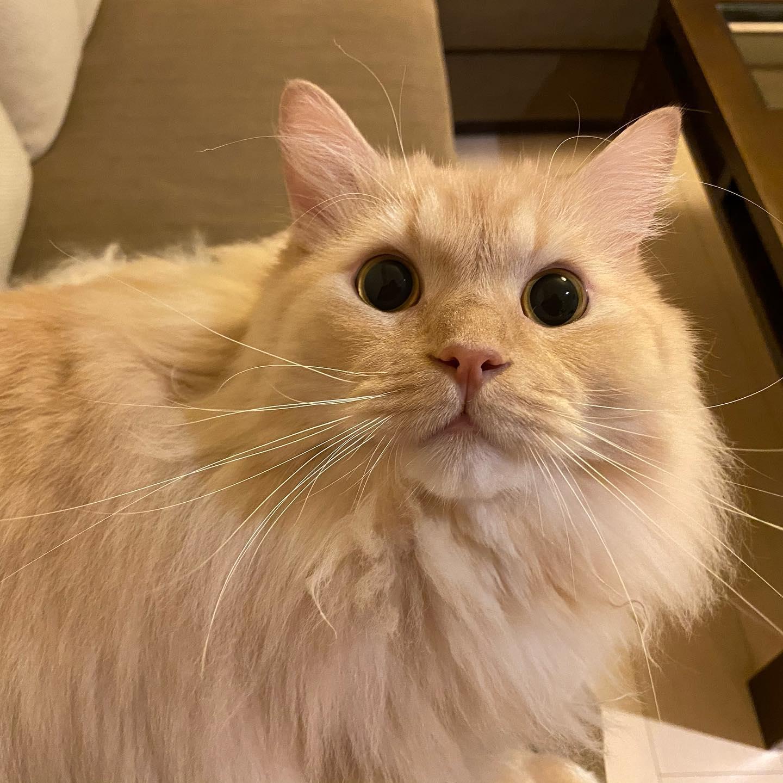 ゆきちゃん玄関でお出迎えしてくれた時は、「ママじゃない!」って驚いて、それはそれは見事な後退りだったけど、名前を呼んであげたらすぐに私のことを思い出してくれました🤗可愛いゆきちゃん5連発をどうぞ#tokyopetsitter #cat #ペットシッター